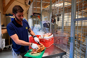 Keeper at the lion unit preparing chicken meat to feed the lions (Panthera leo), Beauval Zoo, Saint-Aignan, France.  -  Eric Baccega