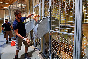 Keeper at the lion unit feeding the lion cubs with chicken meat (Panthera leo), Beauval Zoo, Saint-Aignan, France.  -  Eric Baccega