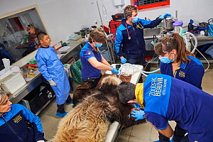 Veterinarian team at the zoo surgery station preparing male panda, Yuan Zi, for sperm collection  under anaesthetic (Ailuropoda melanoleuca),  Beauval Zoo, Saint-Aignan, France.  -  Eric Baccega