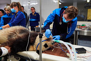 Veterinary team at the zoo surgery station preparing male panda, Yuan Zi, for sperm collection  under anaesthetic (Ailuropoda melanoleuca),  Beauval Zoo, Saint-Aignan, France.  -  Eric Baccega