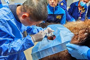 Chinese veterinarian from the Chengdu Giant Panda Breeding Centre, artificially inseminating the female Giant panda Huan Huan (Ailuropoda melanoleuca) Beauval Zoo, Saint-Aignan, France.  -  Eric Baccega