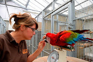 Keeper at the bird unit, feeding and weighing a Green-winged macaw (Ara chloropterus), Beauval Zoo, Saint-Aignan, France.  -  Eric Baccega