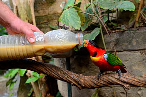 Feeding a yellow-bibbed lory (Lorius chlorocercus) from a bottle,  Beauval Zoo, Saint-Aignan, France.  -  Eric Baccega