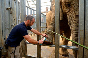 Keeper cleaning the foot of an elephant (Loxodonta africana) Beauval Zoo, Saint-Aignan, France.  -  Eric Baccega