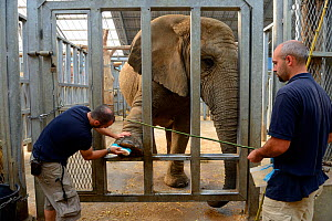 Keepers cleaning the foot of an African elephant (Loxodonta africana), Beauval Zoo, Saint-Aignan, France.  -  Eric Baccega