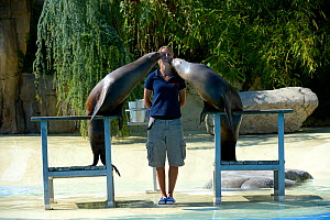 Two captive California sea lions (Zalophus californianus) performing and kissing with zookeeper at the French zoo, ZooParc de Beauval, Saint-Aignan, France.  -  Eric Baccega