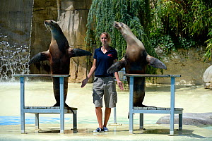 Two California sea lions (Zalophus californianus) performing their show with zookeeper at the French zoo, ZooParc de Beauval, Saint-Aignan, France.  -  Eric Baccega