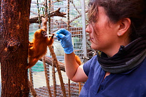 Keeper feeding a Golden lion tamarin (Leontopithecus rosalia), Beauval Zoo, Saint-Aignan, France.  -  Eric Baccega