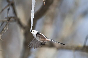 Long-tailed tit (Aegithalos caudatus) feeding on icicle formed from sap of Painted maple tree (Acer pictum). Hokkaido, Japan. February. Sequence 1/2.  -  Tony Wu