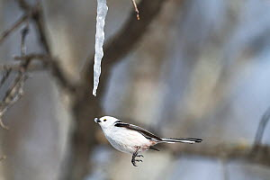 Long-tailed tit (Aegithalos caudatus) feeding on icicle formed from sap of Painted maple tree (Acer pictum), tip of icicle in tit's beak. Hokkaido, Japan. February. Sequence 2/2.  -  Tony Wu