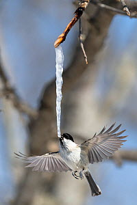 Marsh tit (Poecile palustris hensoni) feeding on an icicle formed from the sap of a painted maple tree (Acer pictum) in winter. Hokkaido, Japan.  -  Tony Wu
