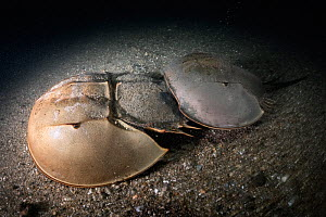 Tri-spine horseshoe crab (Tachypleus tridentatus) pair walking across sea floor at night. Female searching for location to spawn, male clasped onto rear of female to fertilise eggs once deposited. Yam...  -  Tony Wu
