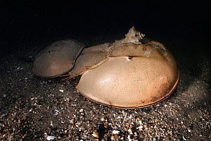 Tri-spine horseshoe crab (Tachypleus tridentatus) pair walking across sea floor at night. Female searching for location to spawn, male clasped onto rear of female to fertilise eggs once deposited. Sna...  -  Tony Wu