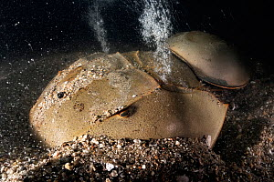 Tri-spine horseshoe crab (Tachypleus tridentatus) pair on sea floor at night. Female digging before depositing eggs, disturbance releases air bubbles from substrate. Male clasped onto rear of female w...  -  Tony Wu
