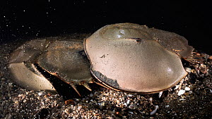 Tri-spine horseshoe crab (Tachypleus tridentatus) pair on sea floor at night. Male clasped onto rear of female, male fertilising eggs female has deposited in substrate. Yamaguchi Prefecture, Honshu, J...  -  Tony Wu
