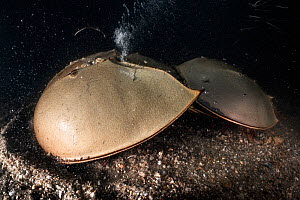 Tri-spine horseshoe crab (Tachypleus tridentatus) pair on sea floor at night. Female digging into substrate before depositing eggs, male clasped onto rear of female to fertilise eggs once deposited. Y...  -  Tony Wu