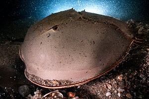 Tri-spine horseshoe crab (Tachypleus tridentatus) male fertilising eggs deposited by female in substrate. Female crab buried on sea floor beneath male. Yamaguchi Prefecture, Honshu, Japan. July.  -  Tony Wu