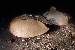 Tri-spine horseshoe crab (Tachypleus tridentatus) pair on sea floor at night. Female searching for location to spawn, male clasped onto rear of female will fertilise eggs once deposited. Yamaguchi Pre...  -  Tony Wu