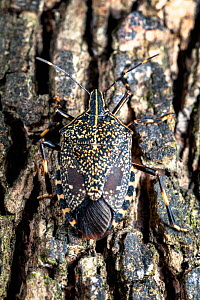 Yellow spotted stink bug (Erthesina fullo) nymph in fifth or final instar. Invasive species in Japan. Yamaguchi Prefecture, Honshu, Japan. August 2020.  -  Tony Wu
