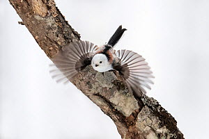 Long-tailed tit (Aegithalos caudatus) taking off from lichen covered branch. Hokkaido, Japan. February.  -  Tony Wu