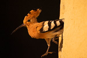 Eurasian Hoopoe, (Upupa epops) coming out of burrow. Pusztaszer protected landscape, Kiskunsagi, Hungary, May  -  Staffan Widstrand