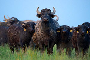 Herd of Water Buffalo (Bubalus bubalis) Pusztaszer protected landscape, Kiskunsagi, Hungary, May  -  Staffan Widstrand