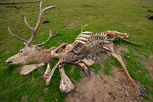 Carcass of Red deer (Cervus elaphus) with just skin and bones left, Oostvaardersplassen Nature Reserve, The Netherlands, April  -  Staffan Widstrand