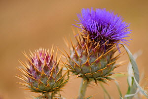 The wild ancestor of the cultivated Artichoke (Cardoon cardunculus) also called the artichoke thistle, Coa Valley, Portugal, July  -  Staffan Widstrand