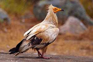 Egyptian vulture (Neophron percnopterus) Coa Valley, Portugal, July  -  Staffan Widstrand