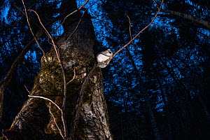 Japanese dwarf flying squirrel (Pteromys volans orii) sitting on branch in forest at dusk, after emerging from nest hole. Hokkaido, Japan. March.  -  Tony Wu