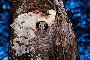 Japanese dwarf flying squirrel (Pteromys volans orii) emerging from nest hole at dusk. Hokkaido, Japan. March.  -  Tony Wu