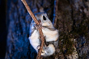 Japanese dwarf flying squirrel (Pteromys volans orii) grasping onto branch at dusk. Hokkaido, Japan. March.  -  Tony Wu