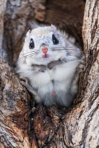 Japanese dwarf flying squirrel (Pteromys volans orii) male sitting in tree, portrait. Hokkaido, Japan. March.  -  Tony Wu