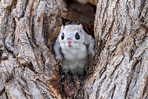 Japanese dwarf flying squirrel (Pteromys volans orii) male in tree. Hokkaido, Japan. March.  -  Tony Wu