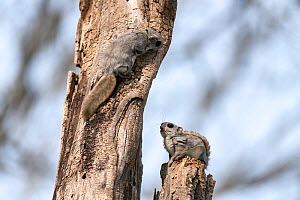 Japanese dwarf flying squirrel (Pteromys volans orii), two males in competition during mating season, one feeding startled by other approaching on tree trunk. Hokkaido, Japan. March.  -  Tony Wu