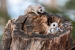 Japanese dwarf flying squirrel (Pteromys volans orii), male attempting ambush attack on other, in competition over female in oestrus. Hokkaido, Japan. March.  -  Tony Wu