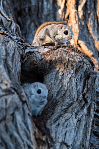 Japanese dwarf flying squirrel (Pteromys volans orii) pair on tree trunk, female in oestrus in nest hole, male sitting on guard above to fend off approaching males. Hokkaido, Japan. March.  -  Tony Wu