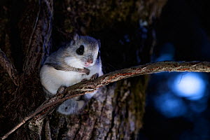Japanese dwarf flying squirrel (Pteromys volans orii) sitting on tree trunk at night near nest hole. Hokkaido, Japan. March.  -  Tony Wu