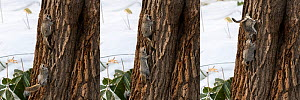Japanese dwarf flying squirrel (Pteromys volans orii) pair, male in pursuit of female in oestrus, female spinning around to indicate she is not ready. Hokkaido, Japan. March. Digital composite sequenc...  -  Tony Wu