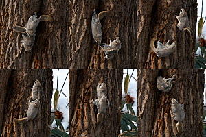 Japanese dwarf flying squirrel (Pteromys volans orii) pair on tree trunk, male in pursuit of female, copulating and female returning to nest. Hokkaido, Japan. March. Digital composite sequence.  -  Tony Wu