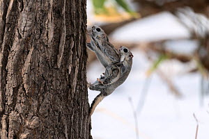 Japanese dwarf flying squirrel (Pteromys volans orii) pair mating on tree trunk, female putting up resistance, dislodging male. Hokkaido, Japan. March.  -  Tony Wu