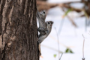 Japanese dwarf flying squirrel (Pteromys volans orii) pair mating on tree trunk. Hokkaido, Japan. March.  -  Tony Wu