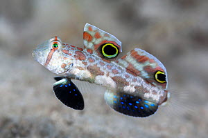 Crab-eye goby (Signigobius biocellatus), mimics crab with eye-spot markings on dorsal fins and back and forth movement. Loloata Island, Papua New Guinea.  -  Tony Wu