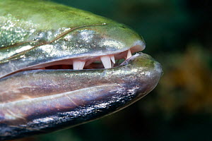 Great barracuda (Sphyraena barracuda) stalking prey, close up of mouth with sharp teeth. Bangka, North Sulawesi, Indonesia.  -  Tony Wu