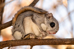 Japanese dwarf flying squirrel (Pteromys volans orii) sitting on branch. Hokkaido, Japan. March.  -  Tony Wu