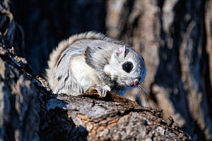 Japanese dwarf flying squirrel (Pteromys volans orii) male on branch, active during day due to competing for attention of female in oestrous. Hokkaido, Japan. March.  -  Tony Wu