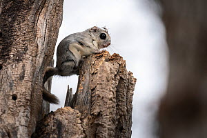 Japanese dwarf flying squirrel (Pteromys volans orii) perched on tree snag after emerging from nest, nest lining material on squirrel's head. Hokkaido, Japan. March.  -  Tony Wu