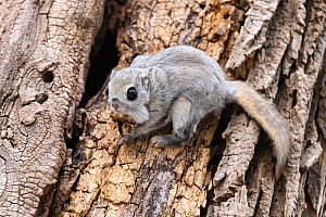Japanese dwarf flying squirrel (Pteromys volans orii) on tree trunk beside nest hole. Hokkaido, Japan. March.  -  Tony Wu