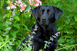 Black Labrador Retriever female sitting amongst flowers. Connecticut, USA, June.  -  Lynn M. Stone