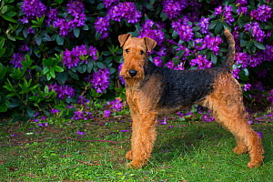 Airedale Terrier standing in garden beside Rhododendron flowers. Connecticut, USA. June.  -  Lynn M. Stone